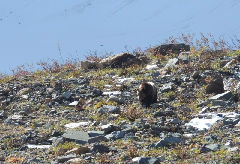 Grizzly Bear in Glacier National Park Photo Copyright Don Gisselbeck